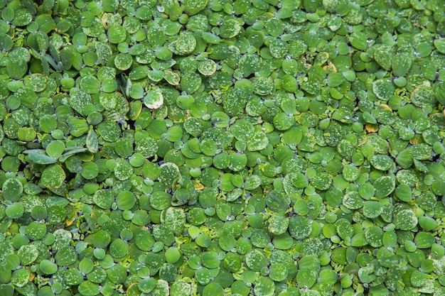 Background pattern green duckweed float in water