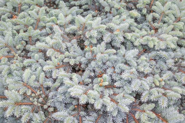 Фоновый узор из естественных голубых еловых веток. для шаблона или макета.