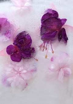 Background of pink  balsamine and purple fuchsia flower frozen in ice