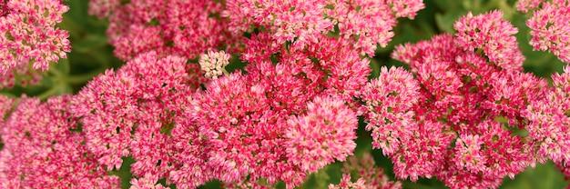 Background of pink blooming flowers. sedum telephium. banner