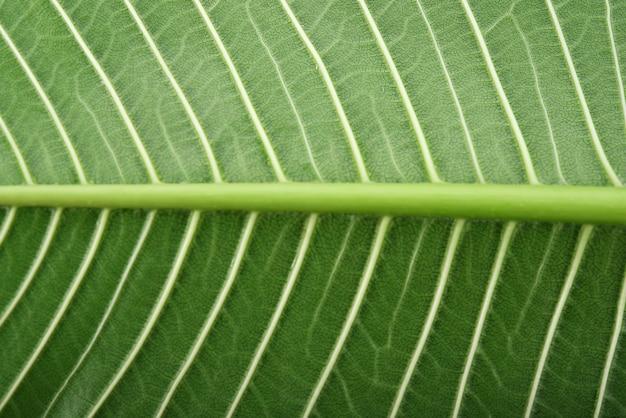 배경 plumeria 잎