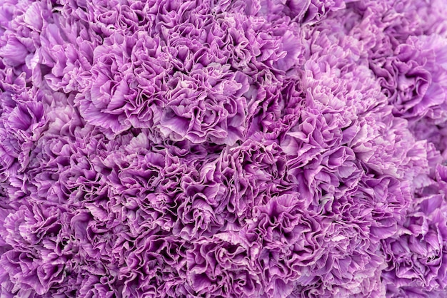 Background of purple carnations.