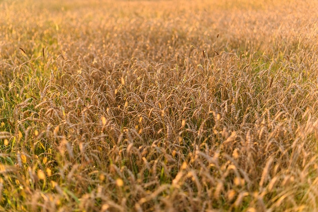Background of ripening ears of meadow gold wheat field in sunset