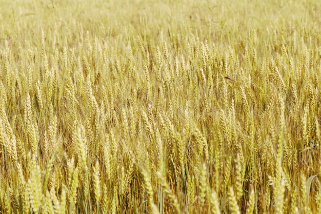 Background of ripening ears of wheat field.