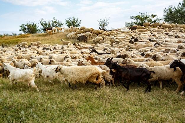 Background of sheep grazing on beautiful mountain meadow.