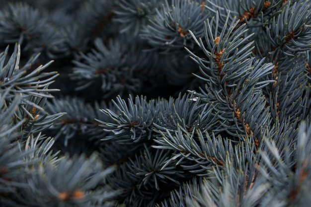 Background of some pine branches