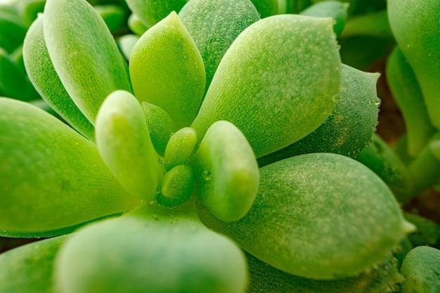 Background of succulent plant texture close up