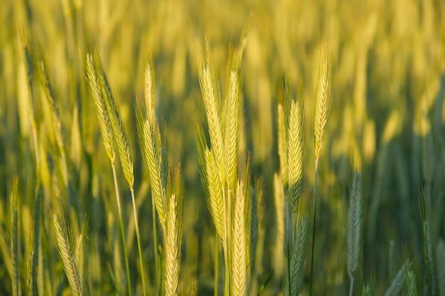 背景、テクスチャ、緑の小麦の農地、春夏シーズン