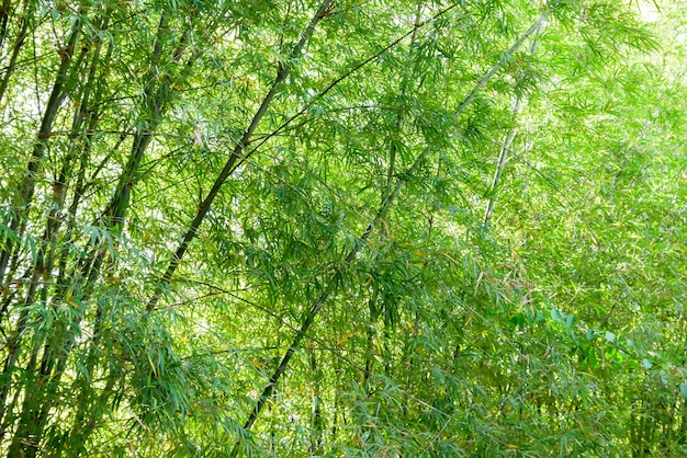 Background texture green bamboo tree