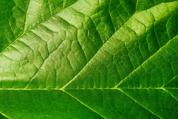 Background texture of green leaf