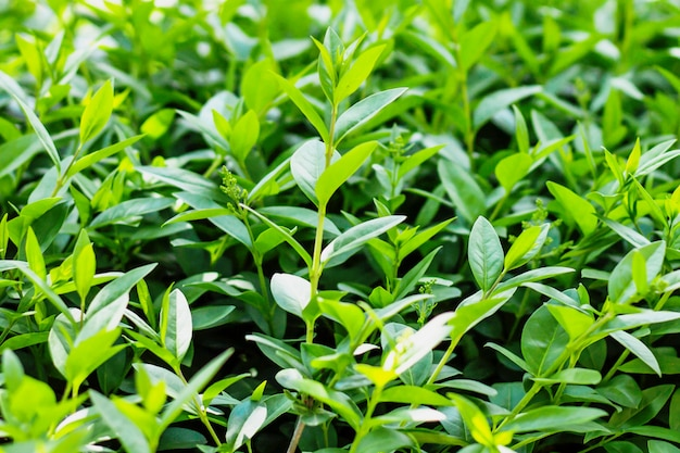 Background texture of green leaves, bushes, nature. green leaf background with copy space for text.