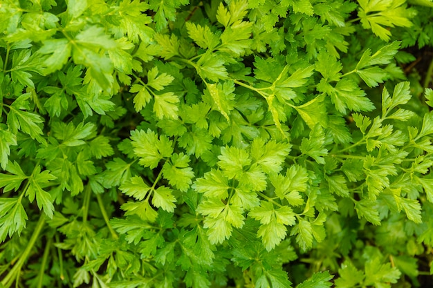 Background or texture of green parsley leaf carpet in soft-focus in the background