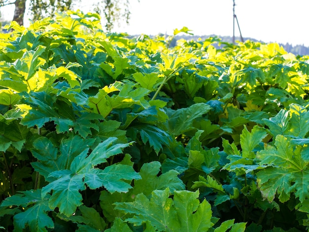 Background of thickets of hogweed, leaves of hogweed close-up