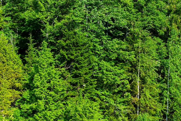 Background - a wall of natural forest vegetation, foliage of deciduous trees of temperate zone