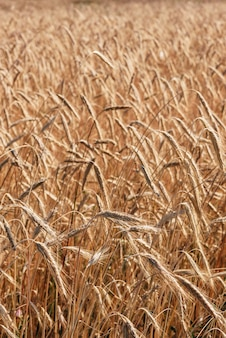 Background of the wheat field. selective focus