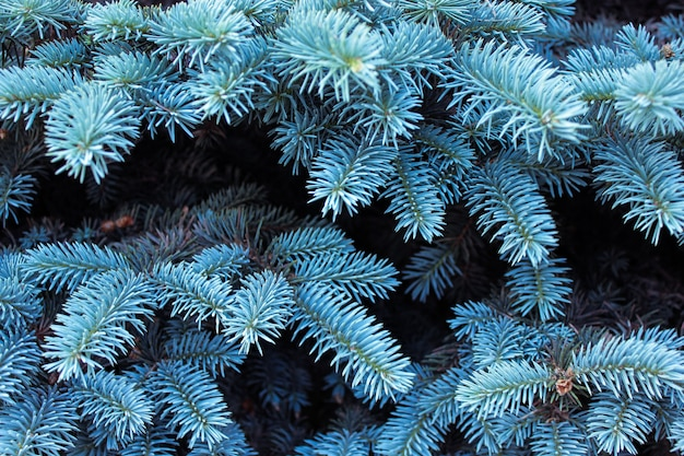 Background with beautiful blue fir branches.