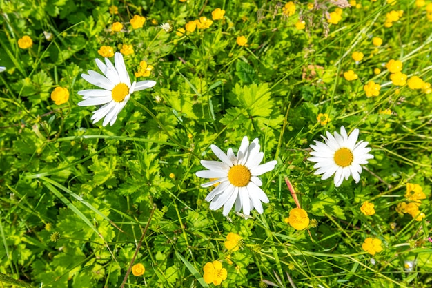 Background with beautiful chamomiles on a summer meadow.