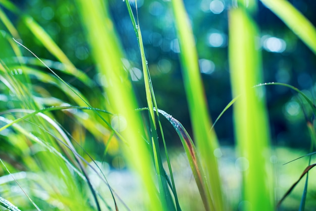 Background with dew falls on green grass in early