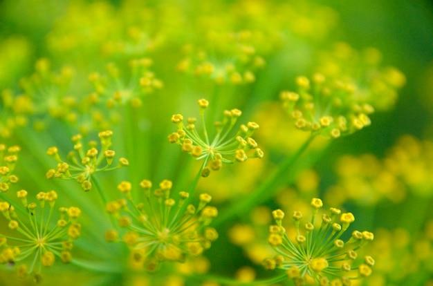 Предпосылка с крупным планом зонтика укропа. садовое растение.