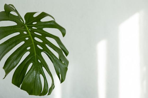 Фон с естественным листом монстера с солнечными лучами на стене копии пространства.