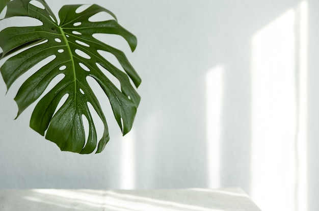 Background with natural monstera leaf with sunbeams on the wall copy space.