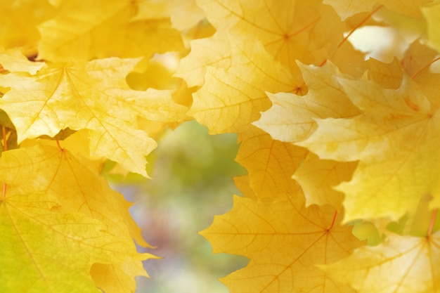 Background with yellow maple leaves