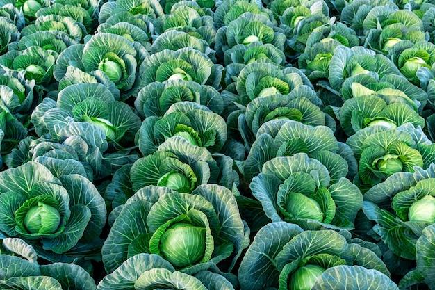 Предпосылка witn большое поле капусты.