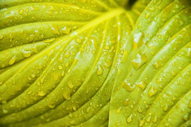 Background of yellow leaves of a lily flower. the texture of wet leaves in the rain.