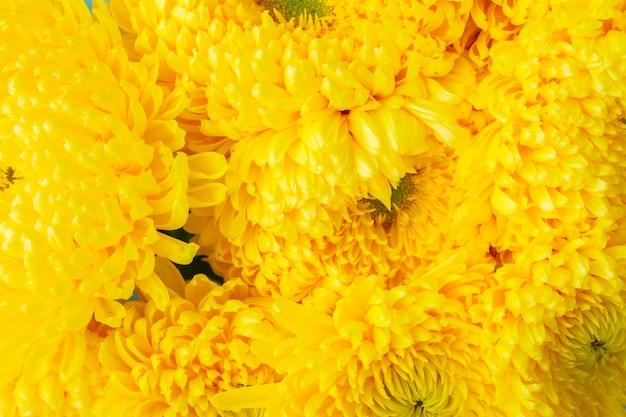 Background of yellow mum flowers close up