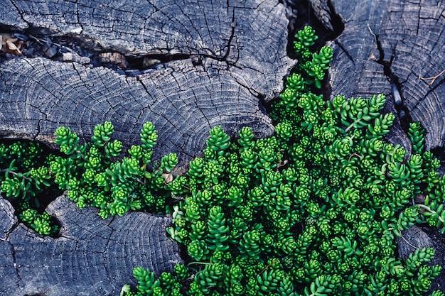 Фон молодая зеленая трава, растущая в трещинах старого деревянного пня.