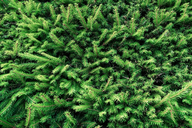 Background of young green spruce.