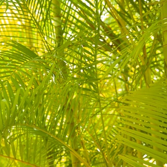 Backgrounds of areca palm tree