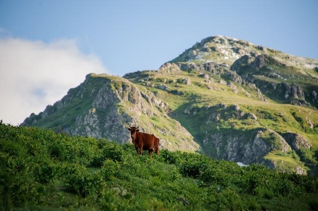 山のbackgrpundの緑の草で覆われた丘の上に立っている茶色の牛