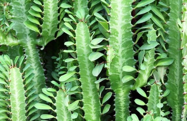 葉のある緑豊かなとげのあるサボテンの背景