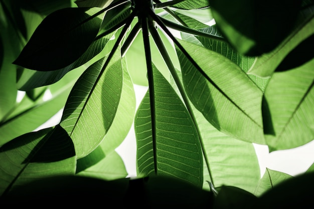 Backlit green leaf in summer or spring. natural sunlight shining throuth the tree.
