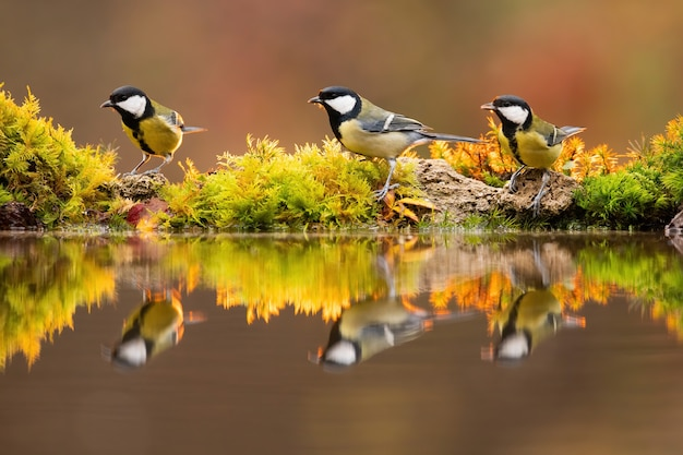 Backlit photo of great tit group sitting beside colourful pond in sunlit autumn