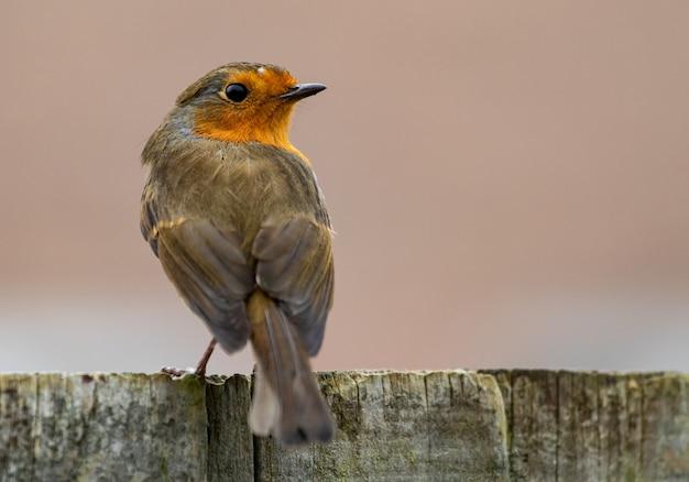 Backshot di un uccello pettirosso europeo seduto su una superficie in legno