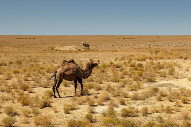 フタコブラクダ、アラル海のカザフスタンの草原のラクダ
