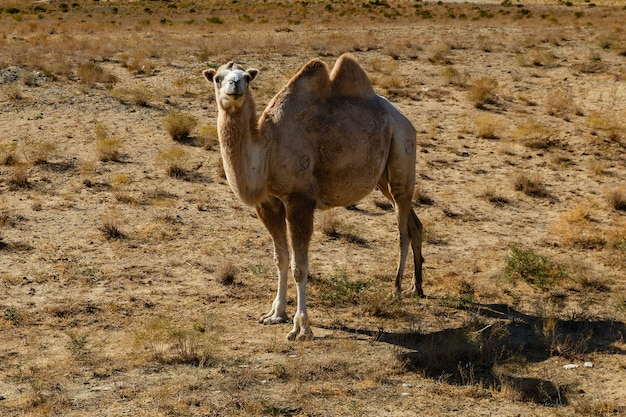 Bactrian camel, camel in the steppe of kazakhstan