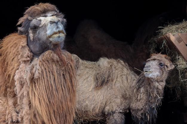 박트리아 낙타, camelus bactrianus.