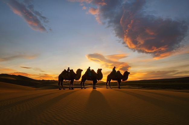 モンゴルのゴビ砂漠のフタコブラクダ