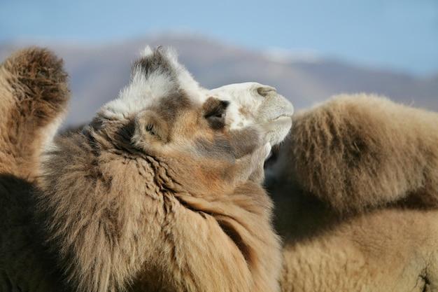 Bactrian camel, portrait of a mongolian camel