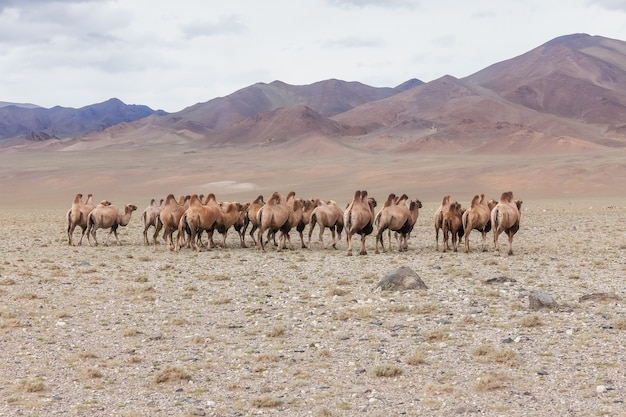 The bactrian camel run away from the photographer.