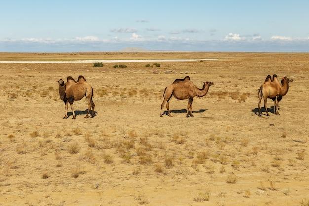 Двугорбые верблюды в степях казахстана аральского района кызылординской области