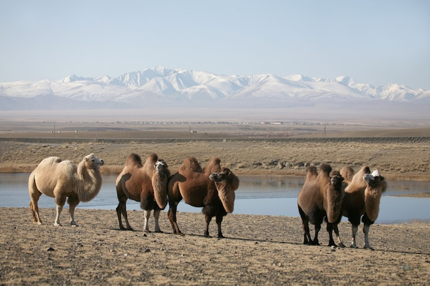 Bactrian camels in the mountain steppes of mongolia