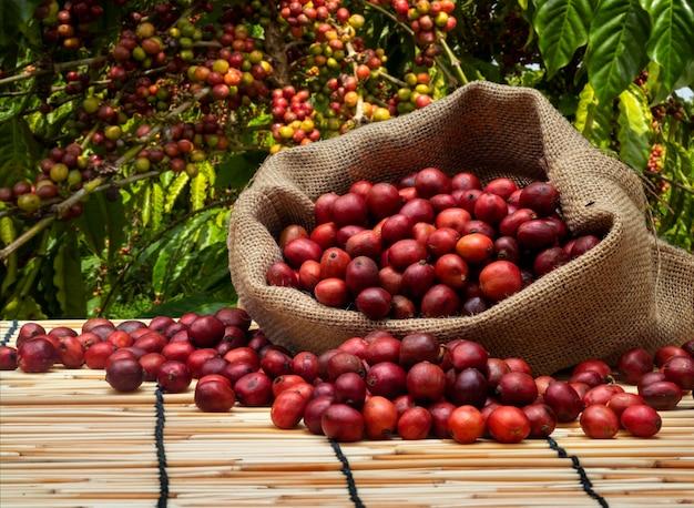 コーヒー農園でチェリーコーヒーの袋
