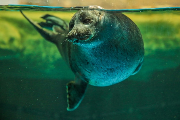 Baikal seal behind the glass. visible head and part of the body. high quality photo