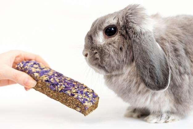 Сбалансированное питание. маленькому декоративному вислоухому кролику дают в руку катушку. закройте вверх. концепция ухода за домашними животными.