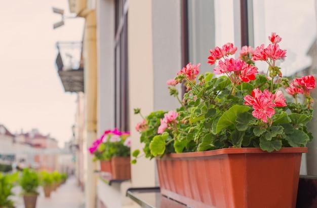 Балконные цветы, цветение розовой герани в городе