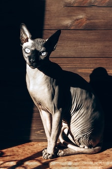 Bald cat of the canadian sphynx breed